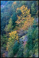 Trees in autumn foliage on steep slope, North Cascades National Park Service Complex.  ( color)