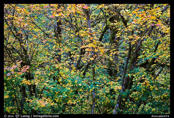 Close-up of trees in fall foliage, Thunder Creek, North Cascades National Park Service Complex.  (color)