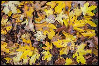 Close-up of fallen leaves, North Cascades National Park Service Complex. Washington, USA.