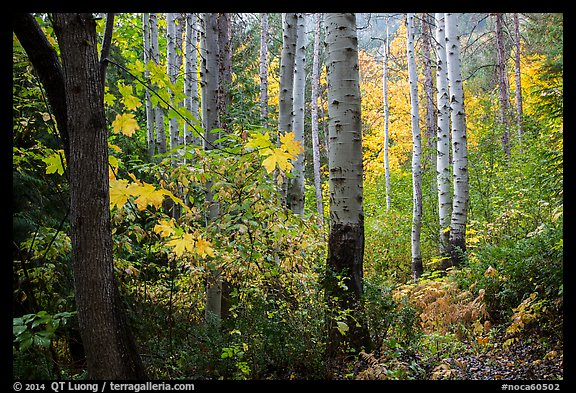 Aspen in autumn, North Cascades National Park.  (color)