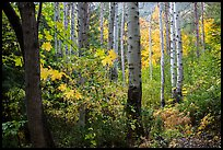 Aspen in autumn, North Cascades National Park.  ( color)