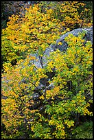 Vine maple in autumn foliage and boulder, North Cascades National Park Service Complex.  ( color)