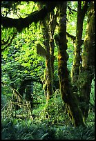 Epiphytic spikemoss on maple trees, Hoh rain forest. Olympic National Park, Washington, USA. (color)