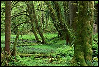 Mosses, trees, and pond, Quinault rain forest. Olympic National Park, Washington, USA.