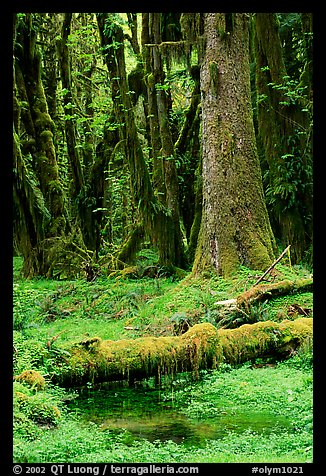 Mosses and trees, Quinault rain forest. Olympic National Park (color)
