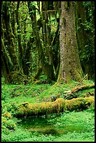 Mosses and trees, Quinault rain forest. Olympic National Park, Washington, USA. (color)