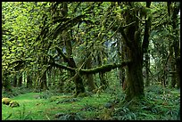 Green Mosses and trees, Quinault rain forest. Olympic National Park, Washington, USA.