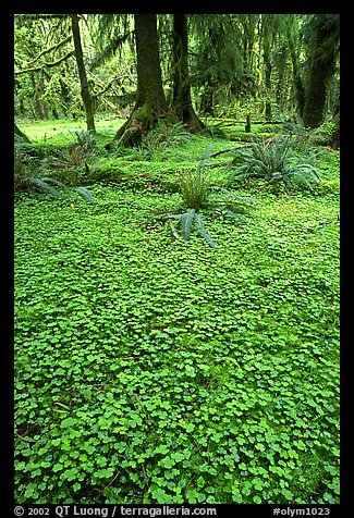 Forest floor carpeted with clovers, Quinault rain forest. Olympic National Park (color)