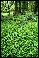 Forest floor carpeted with clovers, Quinault rain forest. Olympic National Park, Washington, USA. (color)