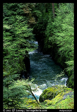 Quinault river in gorge. Olympic National Park (color)