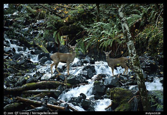 Deer standing in creek. Olympic National Park (color)