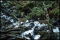 Deer standing in creek. Olympic National Park, Washington, USA.