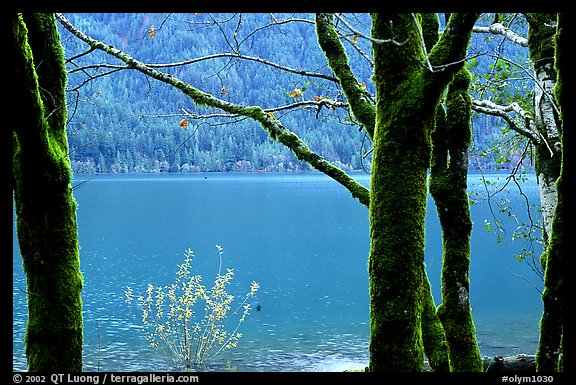 Moss-covered trees on  shore of Crescent lake. Olympic National Park, Washington, USA.