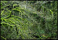 Branches and moss in spring. Olympic National Park ( color)