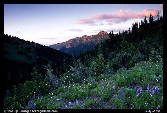 Wildflowers at sunset, Hurricane ridge. Olympic National Park (color)
