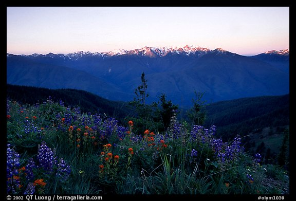 Wildflowers and Olympus range, Hurricane ridge. Olympic National Park, Washington, USA.