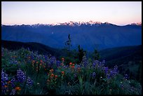 Wildflowers and Olympus range, Hurricane ridge. Olympic National Park, Washington, USA. (color)