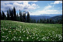 Avalanche lillies, Hurricane ridge. Olympic National Park, Washington, USA. (color)