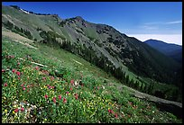 Wildflowers on hill, Hurricane ridge. Olympic National Park, Washington, USA. (color)