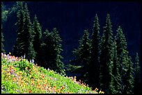 Wildflowers and pine trees, Hurricane ridge. Olympic National Park ( color)