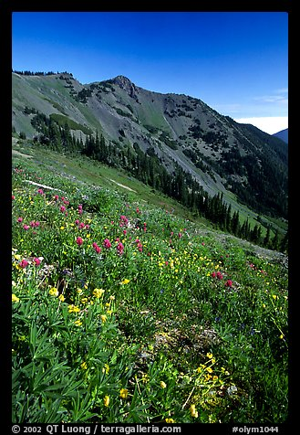 Wildflowers on grassy slope, Hurricane ridge. Olympic National Park, Washington, USA.