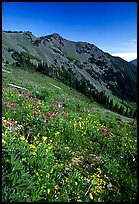 Wildflowers on grassy slope, Hurricane ridge. Olympic National Park, Washington, USA. (color)