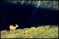 Deer on ridge above valley shadows, Hurricane ridge. Olympic National Park, Washington, USA.
