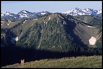Deer on ridge with Olympic Mountains behind, Hurricane ridge, morning. Olympic National Park, Washington, USA.