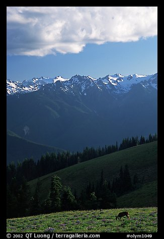Deer and Olympus Range, Hurricane ridge, afternoon. Olympic National Park (color)