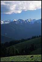 Deer and Olympus Range, Hurricane ridge, afternoon. Olympic National Park, Washington, USA.
