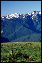 Marmot near Hurricane hill with Olympus Range behind. Olympic National Park ( color)