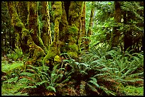 Ferns and moss-covered trunks near Crescent Lake. Olympic National Park, Washington, USA. (color)