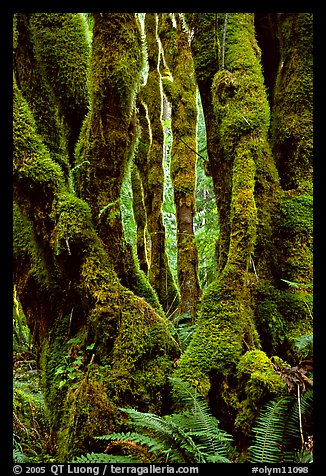 Moss-covered trunks near Crescent Lake. Olympic National Park (color)
