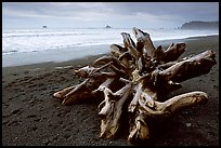 Large roots of driftwood tree, Rialto Beach. Olympic National Park, Washington, USA. (color)