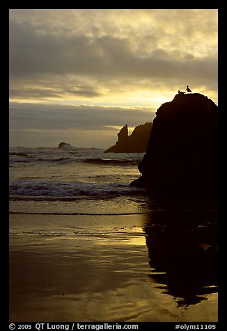 Rock with bird, Second Beach, sunset. Olympic National Park, Washington, USA.
