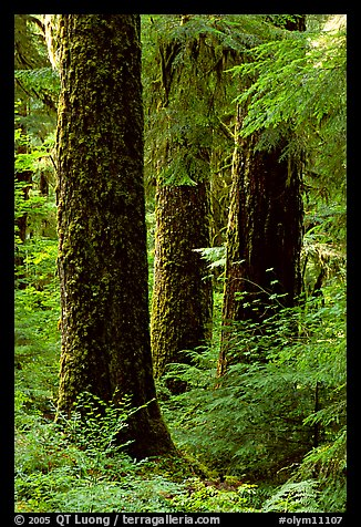 Trunks near Sol Duc falls. Olympic National Park (color)