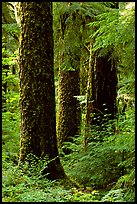 Trunks near Sol Duc falls. Olympic National Park, Washington, USA. (color)