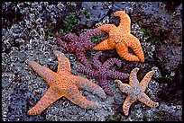 Sea stars on rocks at low tide. Olympic National Park, Washington, USA. (color)