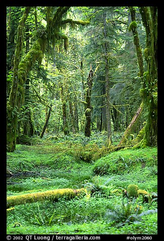 Verdant rain forest, Quinault. Olympic National Park, Washington, USA.