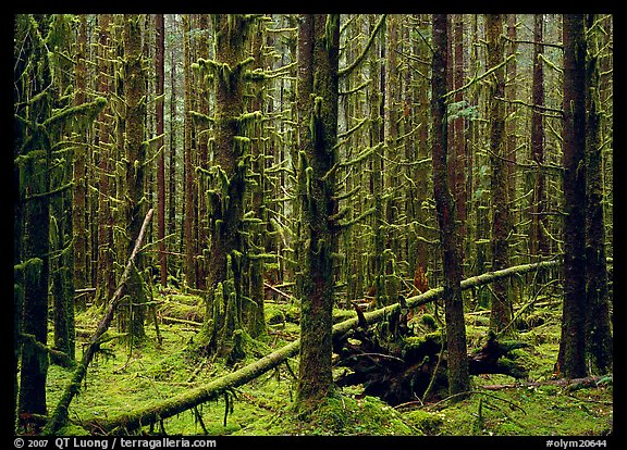 Moss on trunks in Quinault rain forest. Olympic National Park, Washington, USA.