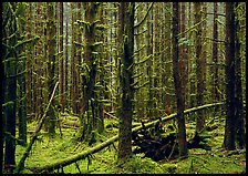 Moss on trunks in Quinault rain forest. Olympic National Park, Washington, USA. (color)