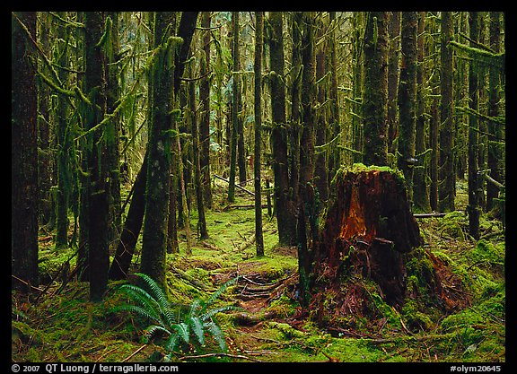 Moss-covered trees in Quinault rainforest. Olympic National Park, Washington, USA.