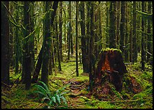 Moss-covered trees in Quinault rainforest. Olympic National Park ( color)