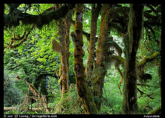 Club moss on vine maple and bigleaf maple in Hoh rain forest. Olympic National Park (color)