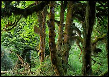 Club moss on vine maple and bigleaf maple in Hoh rain forest. Olympic National Park, Washington, USA.