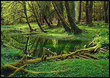 Pond in lush rainforest. Olympic National Park ( color)