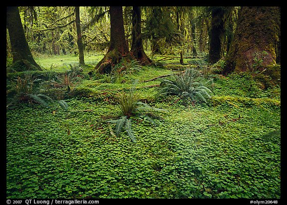 Trilium and ferns in lush rainforest. Olympic National Park (color)