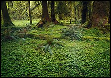Trilium and ferns in lush rainforest. Olympic National Park, Washington, USA.