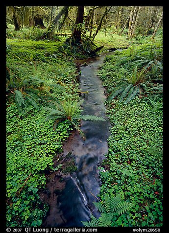 Creek in Quinault rain forest. Olympic National Park (color)
