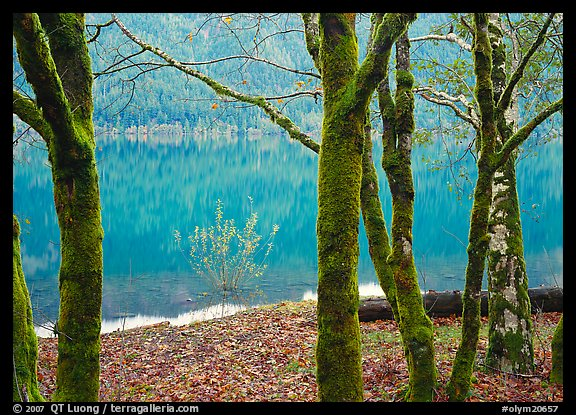 Mossy trees in late autumn and turquoise reflections, Crescent Lake. Olympic National Park, Washington, USA.